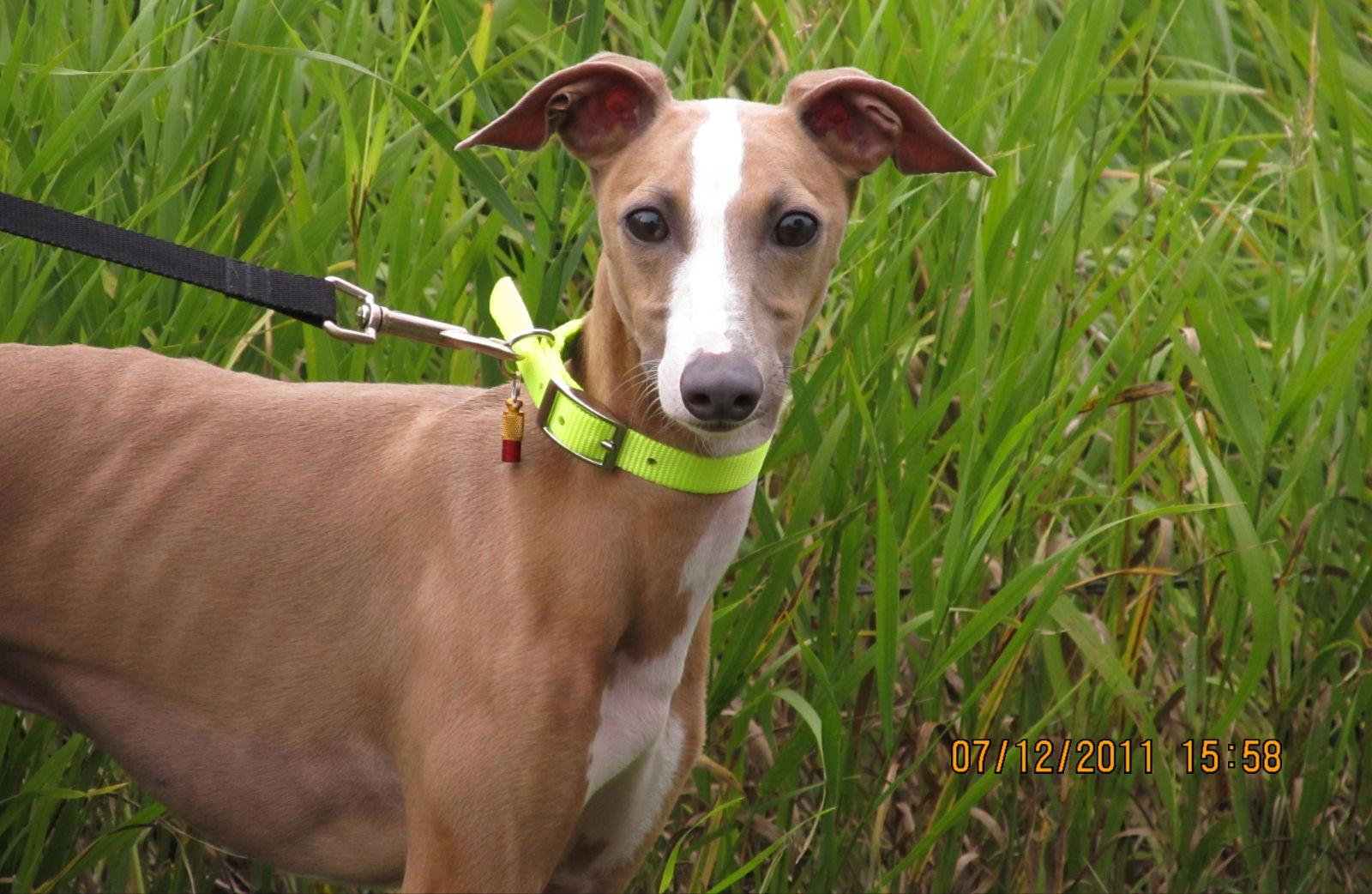Meet the Nebraska Italian Greyhound Rescue - Pets in Omaha