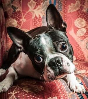 midamerica boston terrier rescue