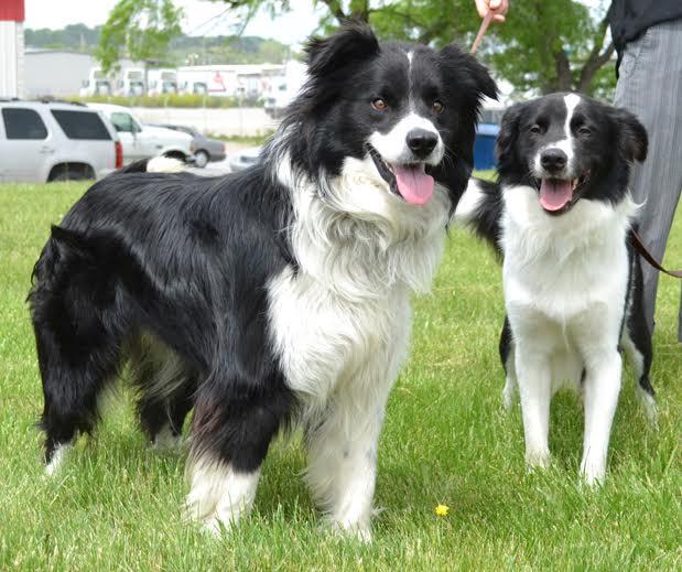 Meet Nebraska Border Collie Rescue - Pets in Omaha