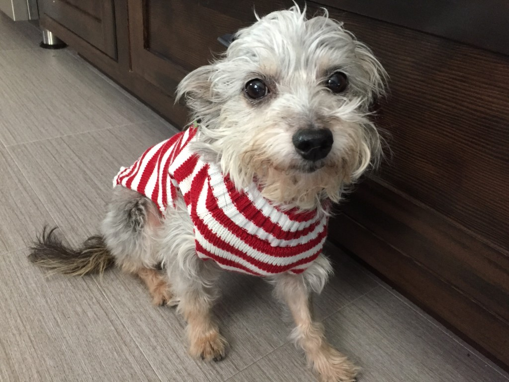 Sugar Plum, current foster dog