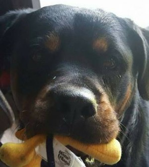 Ten Myths About Rottweilers And The Truth Behind Them Pets In Omaha