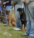 training in a club of canine obedience with purebred dogs